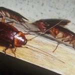 К чему снятся тараканы. Сонник тараканы