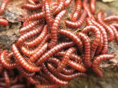 сонник червь внутри себя