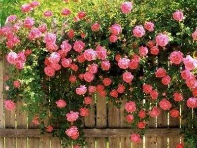 К чему снятся розы? Сонник Розы