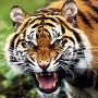 К чему снится тигр? Сонник Тигр