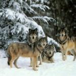 К чему снятся волки? Сонник Волки