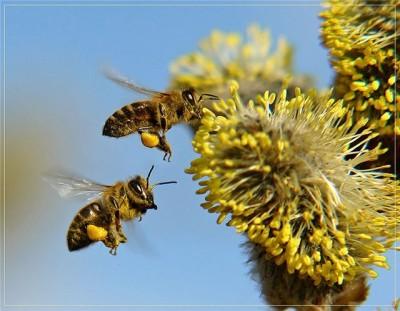сонник пчелы облепили меня