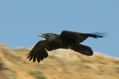К чему снится ворона? Сонник ворона