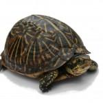 К чему снится черепаха? Сонник Черепаха