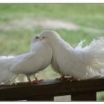 К чему снятся голуби? Сонник голуби.