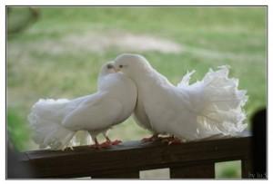 К чему снятся голуби? Сонник голуби