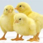 К чему снятся цыплята? Сонник Цыплята