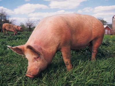 К чему снится свинья? Сонник Свинья