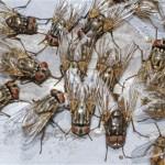 К чему снятся мухи? Сонник Мухи