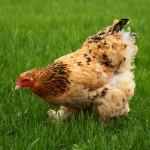 К чему снится курица (куры)? Сонник Курица (куры)