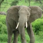 К чему снится слон? Сонник Слон