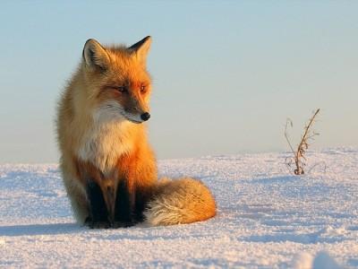 К чему снится лиса? Сонник лиса