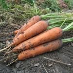 К чему снится морковь? Сонник Морковь
