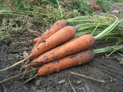 Толкование снов морковь фото