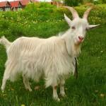 К чему снится коза? Сонник Коза