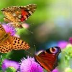 К чему снятся бабочки? Сонник Бабочки