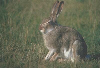 К чему снится заяц? Сонник Заяц