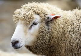 К чему снится овца (овечка)? Сонник Овца (овечка)