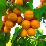 К чему снятся абрикосы? Сонник Абрикосы