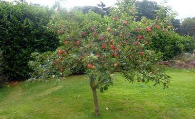 Цветы яблони сонник