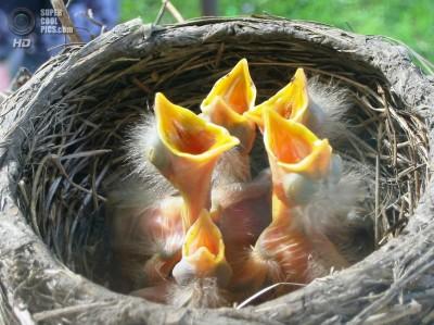 К чему снятся птенцы? Сонник Птенцы