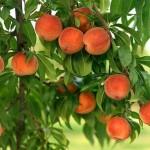 К чему снятся персики? Сонник Персики