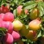 К чему снятся плоды? Сонник Плоды