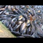 Солить живую рыбу в водоеме.