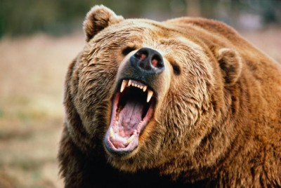 Картинки по запросу медведь с открытой пастью