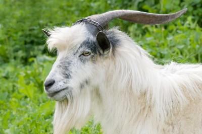 К чему снится козел? Сонник Козел