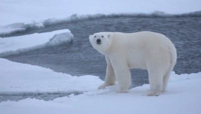 К чему снится белый медведь? Сонник Белый Медведь