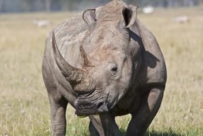 К чему снится носорог? Сонник Носорог
