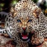 К чему снится леопард? Сонник Леопард