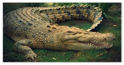 Крокодил в бассейне с песком
