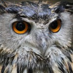 К чему снится сова: толкование в различных сонниках