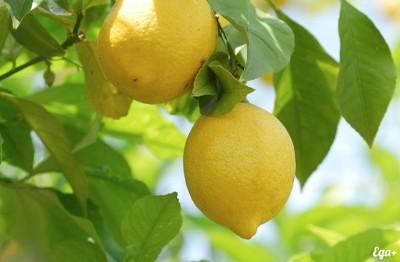 К чему снится лимон? Сонник Лимон