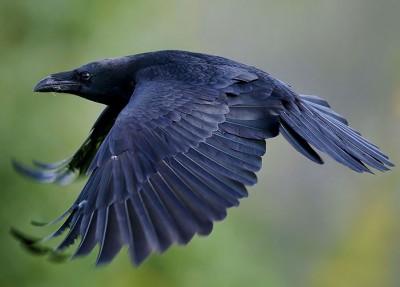 Лысая ворона