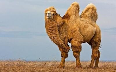 К чему снится верблюд? Сонник Верблюд