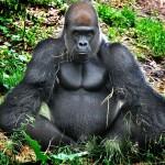 К чему снится горилла? Сонник Горилла