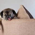 Как спят собаки?