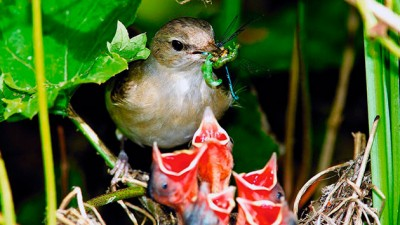 ptica-solovej-potomstvo