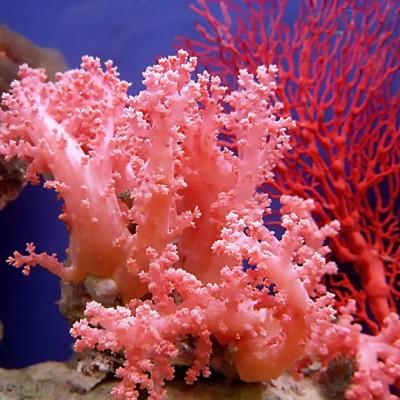 К чему снится коралл? Сонник Коралл